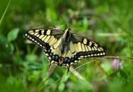 butterfly-491166__180[1]