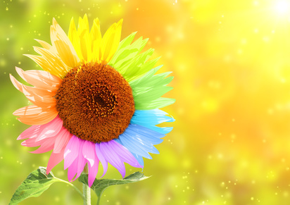 Sunflower with petals painted in different colors