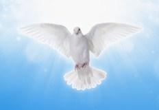 Friedens Taube - White dove in skies
