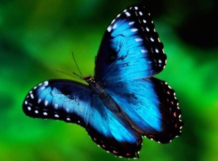 blau-Schmetterling[1]