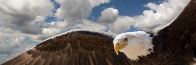 composite of a bald eagle flying in a cloudy sky