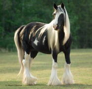 Gypsy Vanner Horse mare