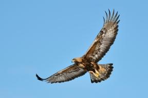 Maakotka 0766 (Aquila chrysaetos) Golden Eagle Utajärvi Finland 24.3.2013